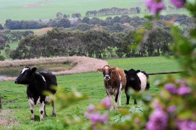 Apostle Whey Cows