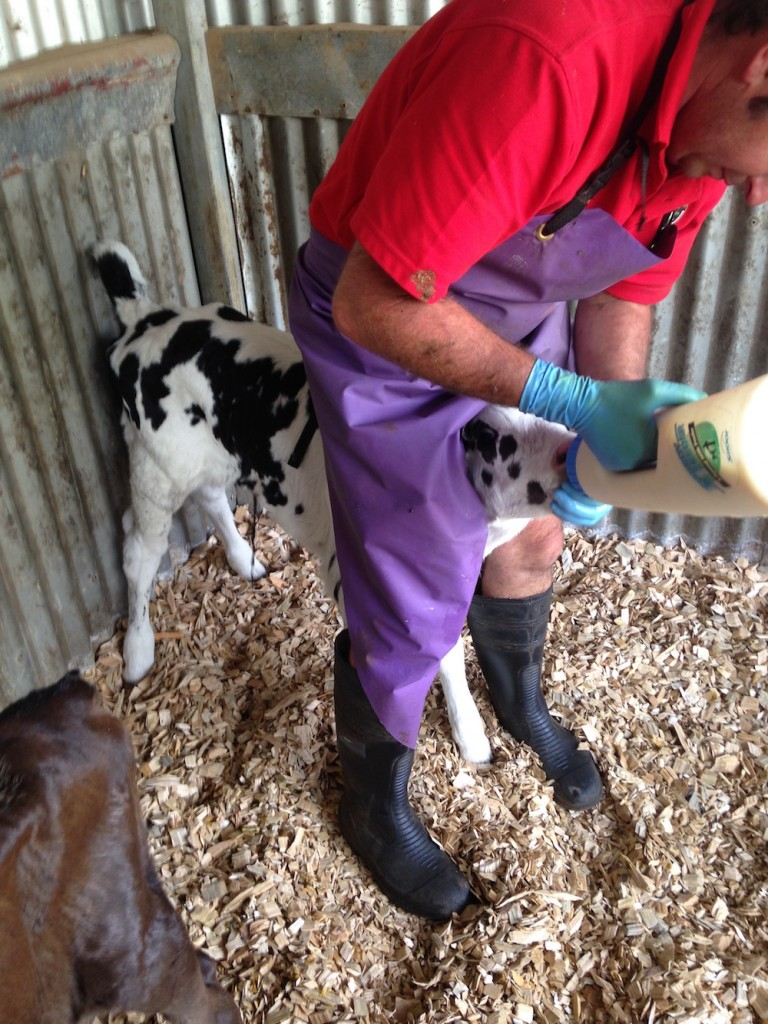 Apostle Whey Dairy Life Part 2 Briney Colostrum Feed