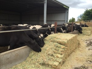 Dairy Life Part 1 The calving shed (Mooternity Ward)2