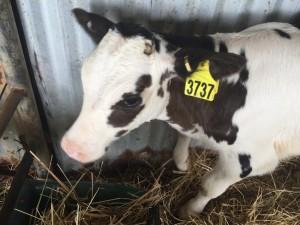 Apostle Whey Dairy Life Part 3 Briney