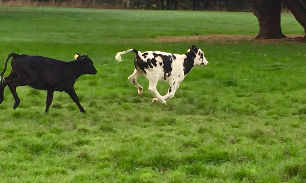 Apostles Whey Cheese Dairy Life Part 4