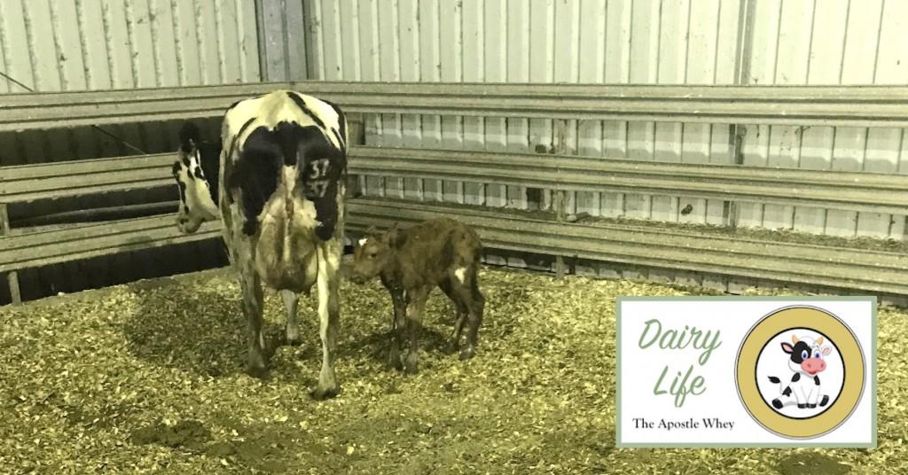 Dairy Life Series Part 8 Briney Calf Dinkus